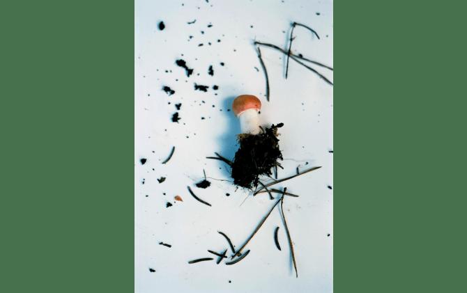 Scandinavian Mushroom #7