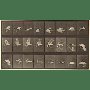 エドワード・J・マイブリッジ/Eadweard J. Muybridge