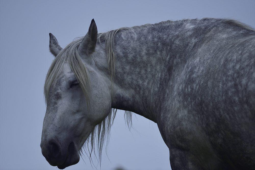 ユルリ島の野生馬