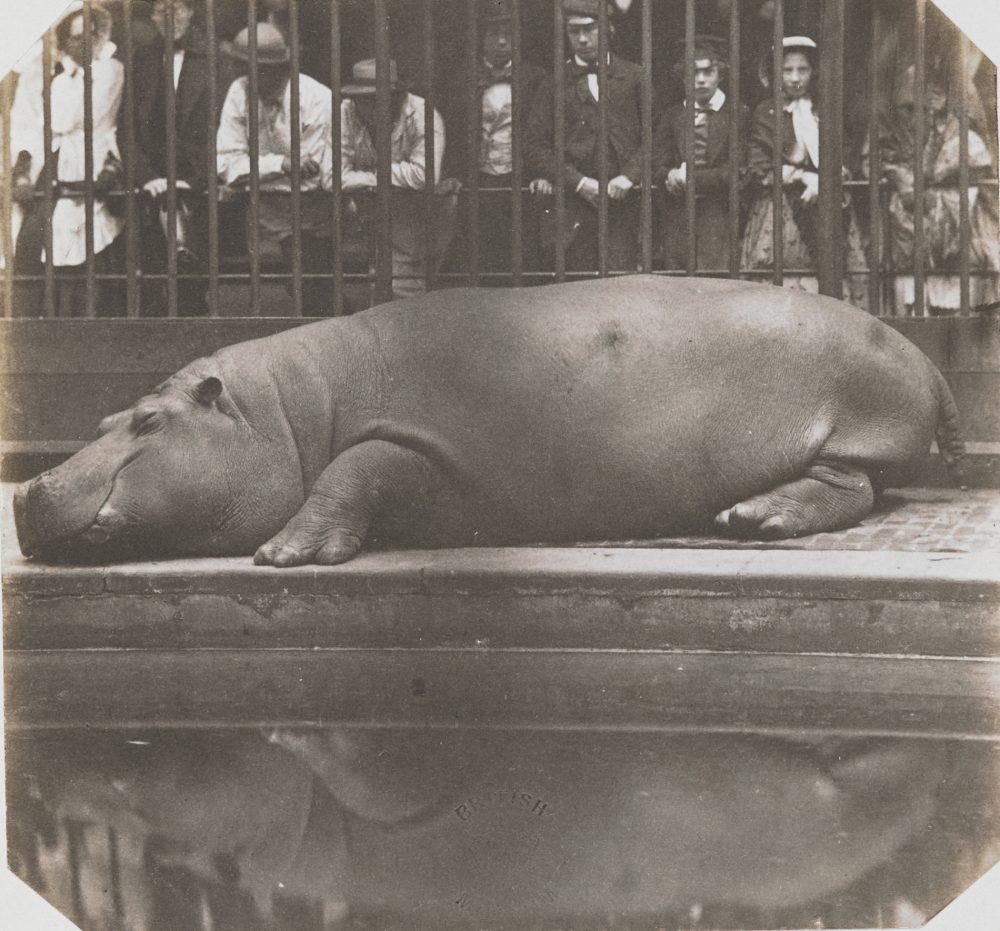 リージェンツ・パーク動物園のカバ