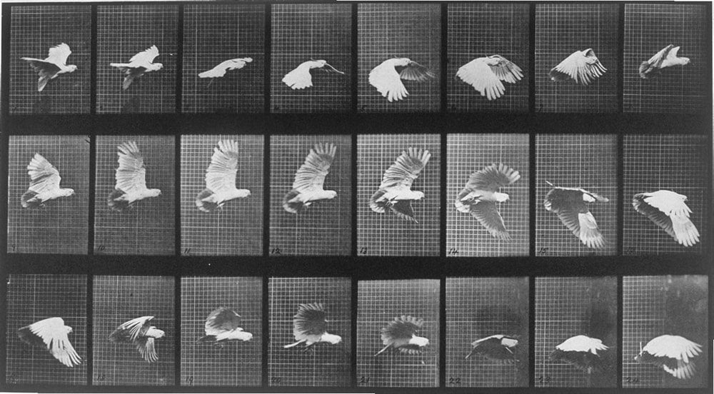 Cockatoo, bird in flight, c 1872-1885 Eadweard Muybridge / SSPL / Getty Images
