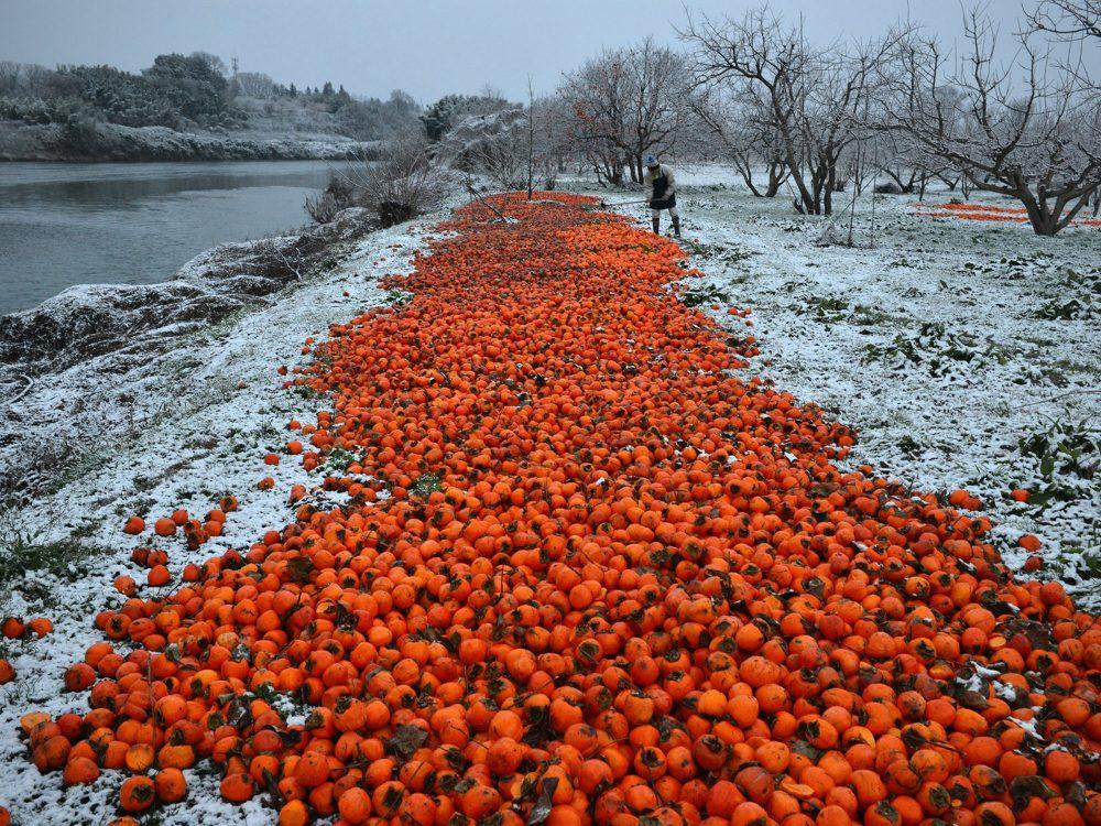 「Blue Persimmons - 青い柿-」