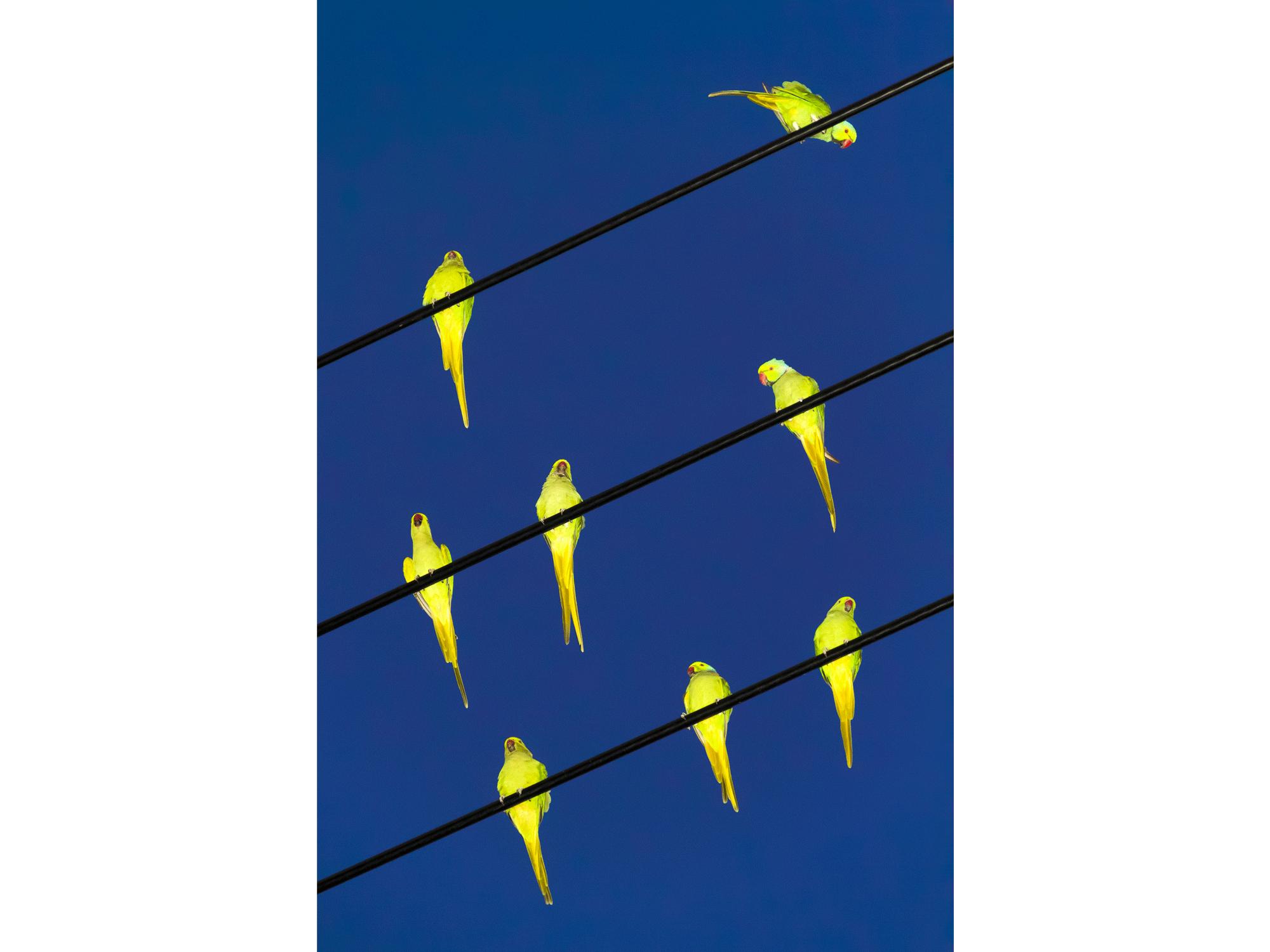 Tokyo Parrots