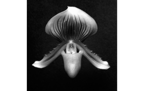 Orchid, 1988 Gelatin Silver Print © Robert Mapplethorpe Foundation. Used by permission.